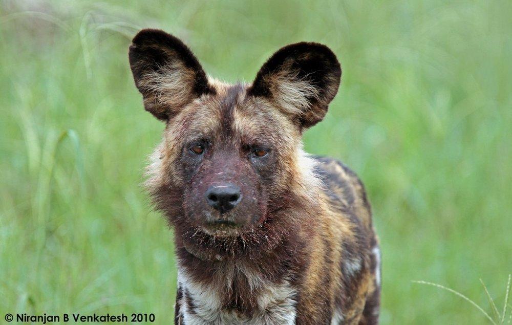 Chitabe Alpha Male African Wild Dog