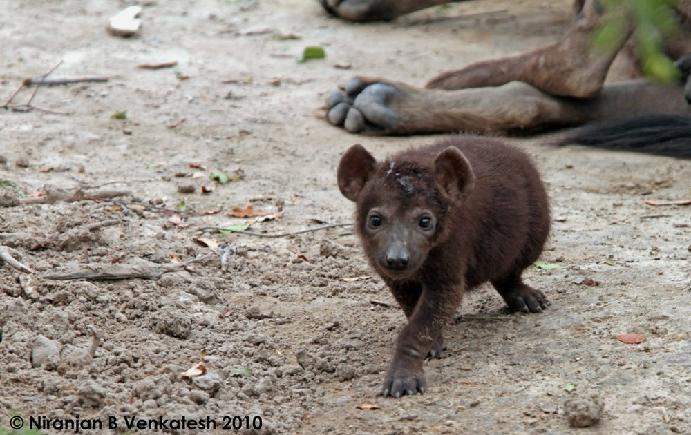 Spotted Hyaena Pup