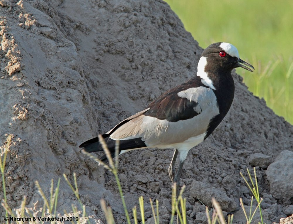 Black Smith Lapwing