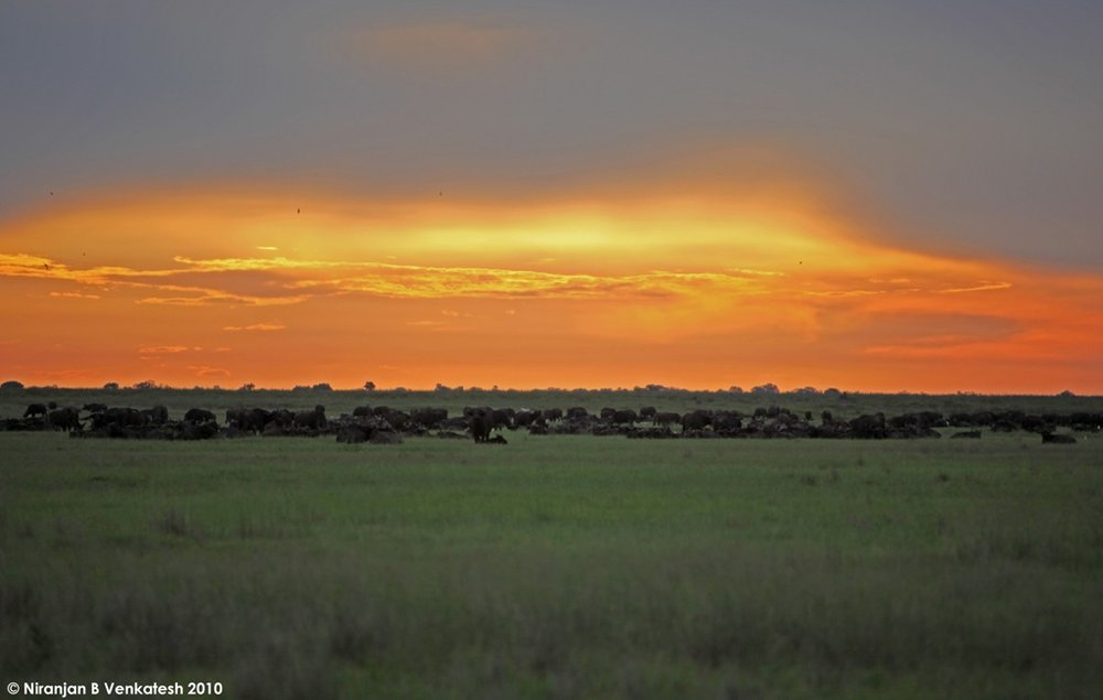 The Duba Plains Buffalo herd Bedding down for the Night