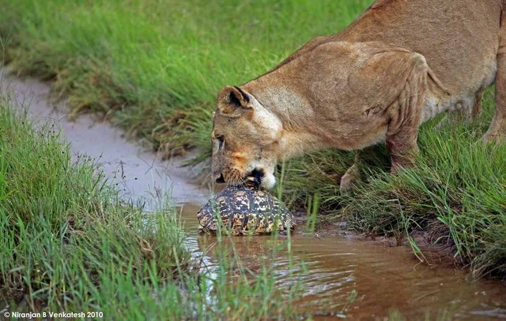 Lioness Trying to Snack on Tortise