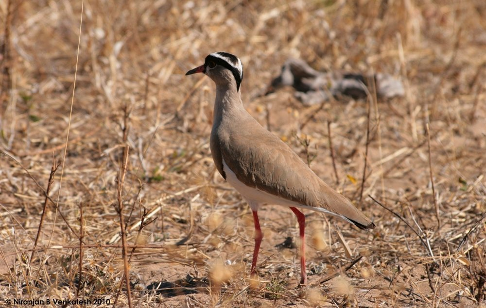 White Crowned Plover