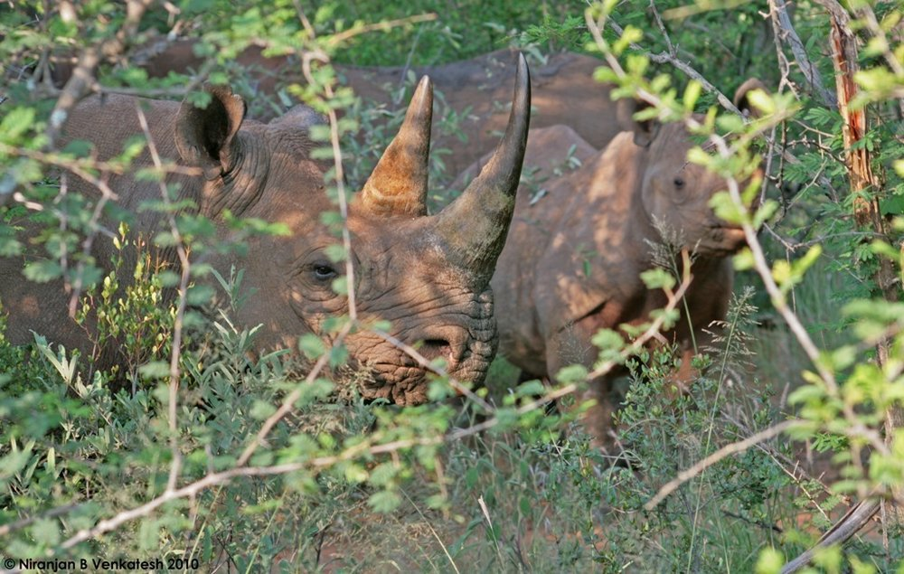 Black Rhino ( 2 adults and 1 calf)