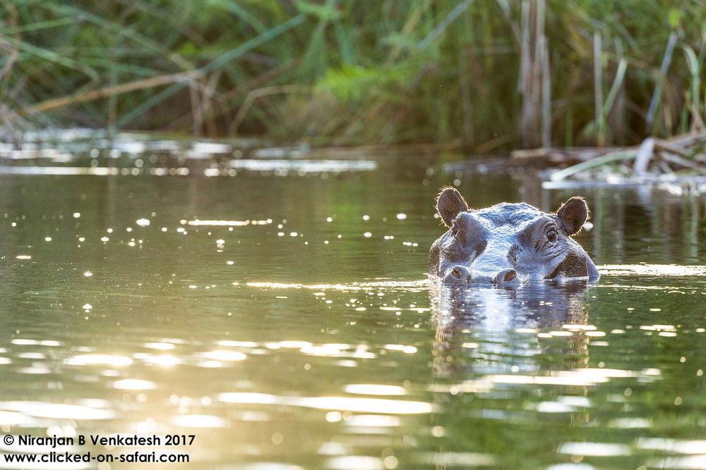 Peeking Hippo