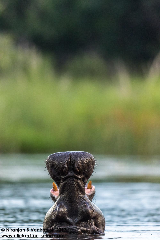 Hippo Head !