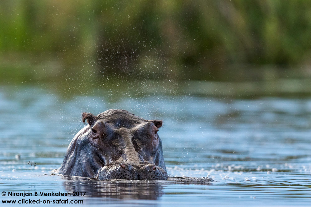 Flapping Hippo