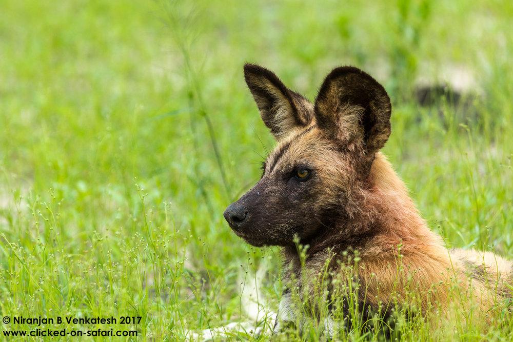 Portrait of a Wilddog