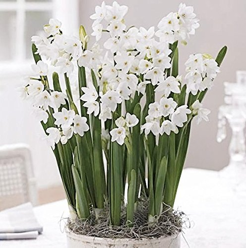 Pretty Paperwhites - These bulbs are known for blooming in winter time. This is why they are so special, The little white blooms, from the daffodil family makes it easy to pair them with any holiday color scheme.