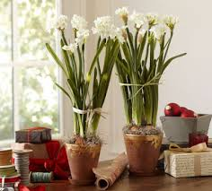 This year I'm starting early - If you want to start some Paperwhites too, now is the time to order your bulbs and select your pot.