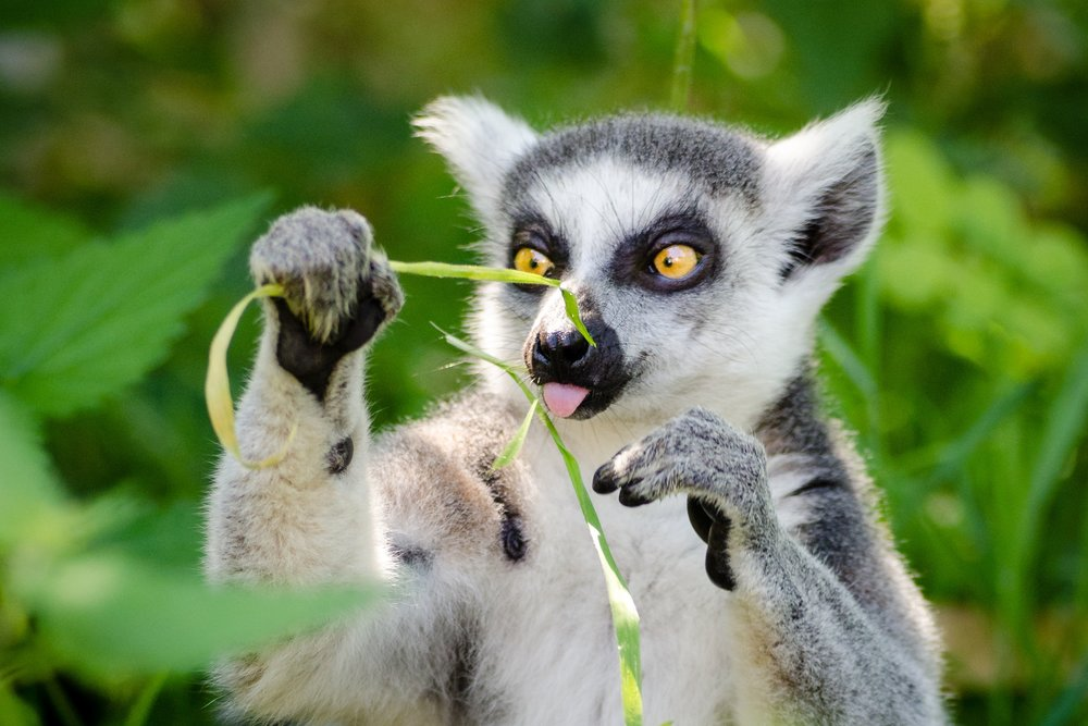 animal-cute-lemur-147939.jpg