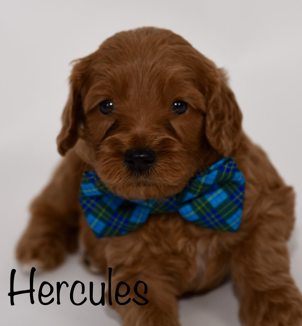 hercules4weeks.jpg
