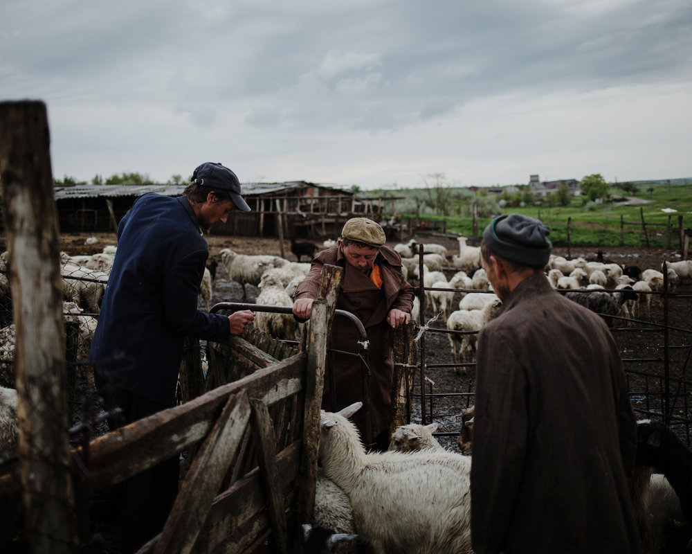 Beshgioz - Workers from a farm gather the sheep and the goats at the end of the day.