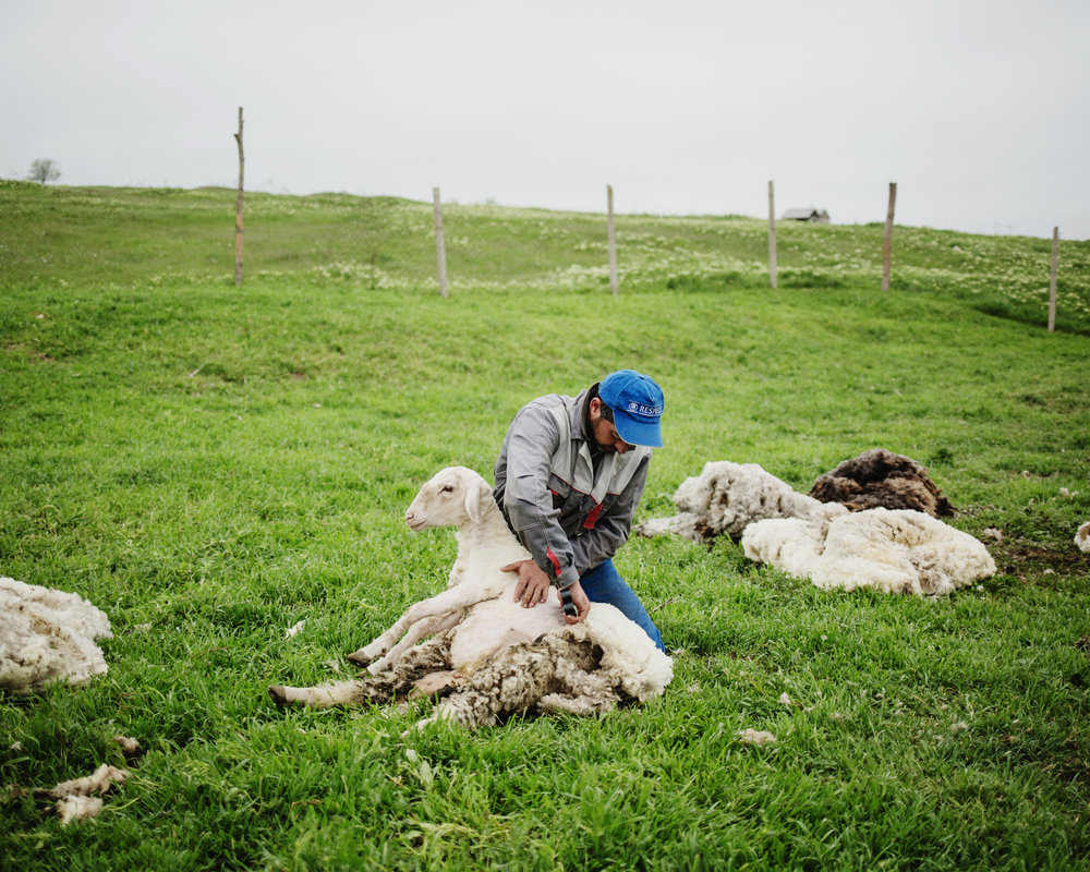 Beshgioz - A shepherd shearing a sheep.