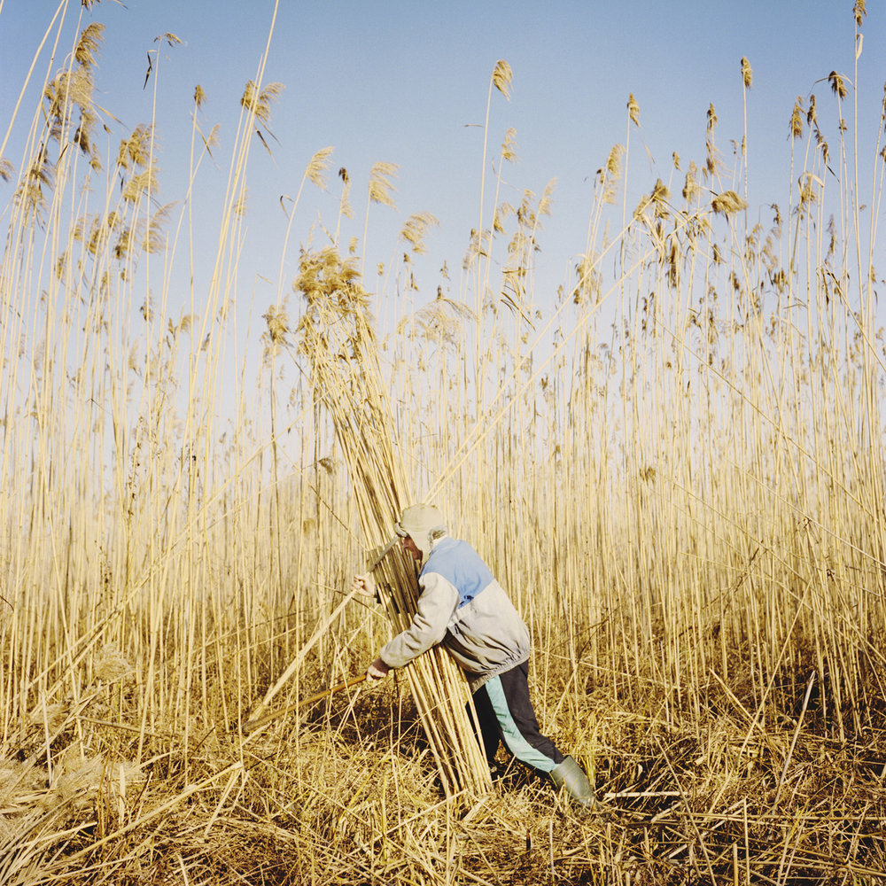 The harvest of the reeds is a traditional activity in the delta.