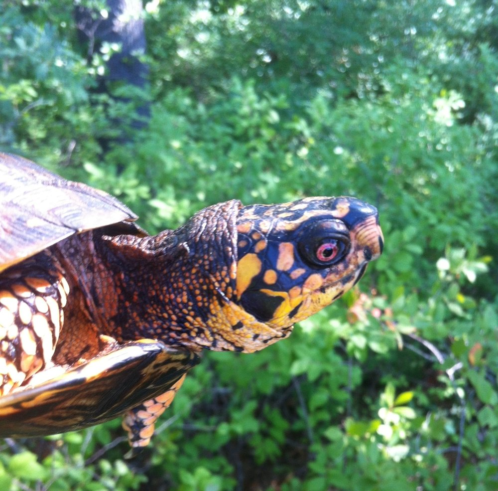A gorgeously colored male Eastern box turtle. A bright red eye is one characteristic used to tell males from females. Duxbury, MA, summer,  Photo credit: Kristen DeMoranville