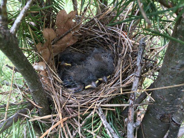 Nestling Dark-eyed juncos, hoping their parents picked a safe nest location. Arizona, summer.  Photo credit: Steve Brenner