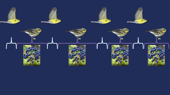Migration = short endurance flights punctuated with longer periods of rest and refueling with native berries and fruits at stopover sites along the way