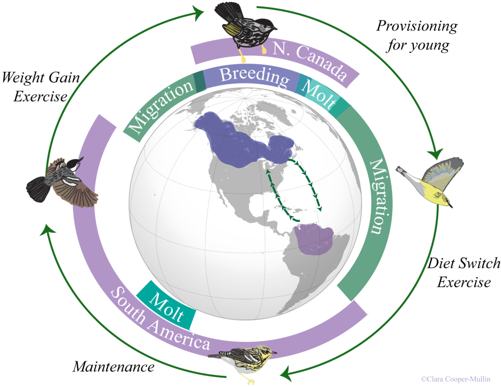 A Blackpoll Warbler's annual cycle: notice how much time each year it will spend traveling between breeding and wintering locations