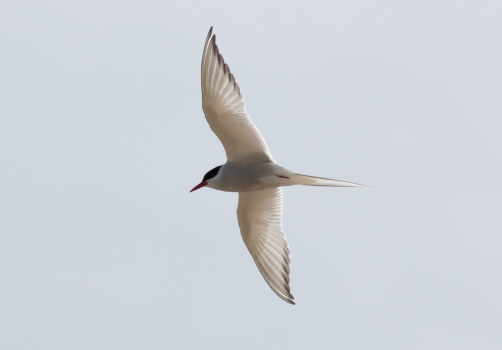 Arctic Tern, perhaps the most dramatic example of extreme migration to capitalize on abundant resources up north. Manitoba, 2018  Photo: Steve Brenner