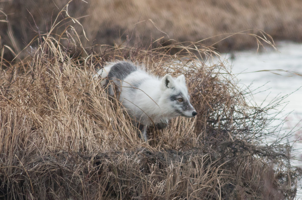 Arctic Fox covering her territory on the tundra. Manitoba, 2018.  Photo: Steve Brenner