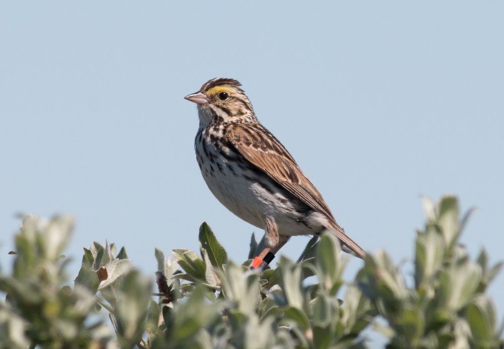 Savannah Sparrow on the tundra. Manitoba, 2018.  Photo: Steve Brenner