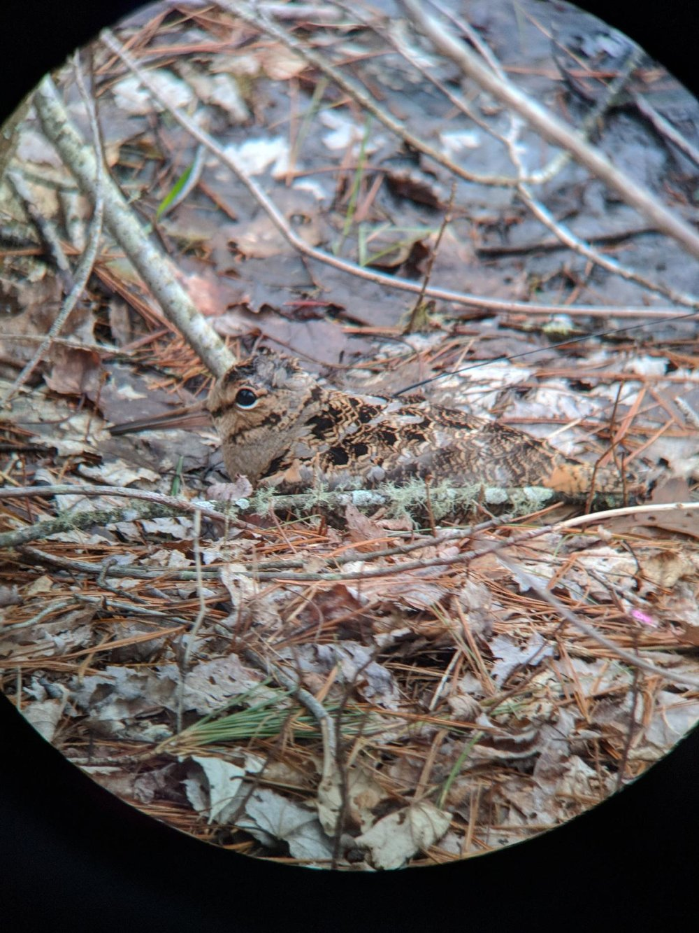 American Woodcock wearing a VHF radio transmitter blending in with the forest floor.  Photo credit Josh Cummings