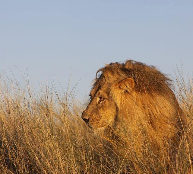 HAPPY WORLD WILDLIFE DAY from animalslivingwithchange.com  #Worldwildlifeday #physeco #lions #botswana #scicomm