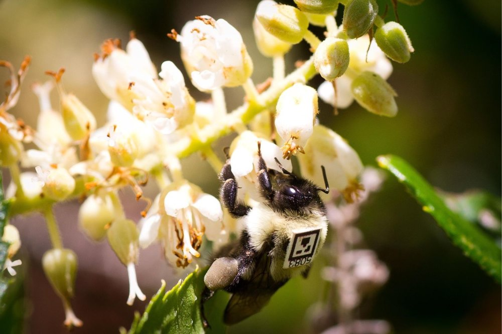 Photo by James Crawl: Bumblebee  (Bombus impatiens)  wearing a simplified QR code for individual recognition and tracking