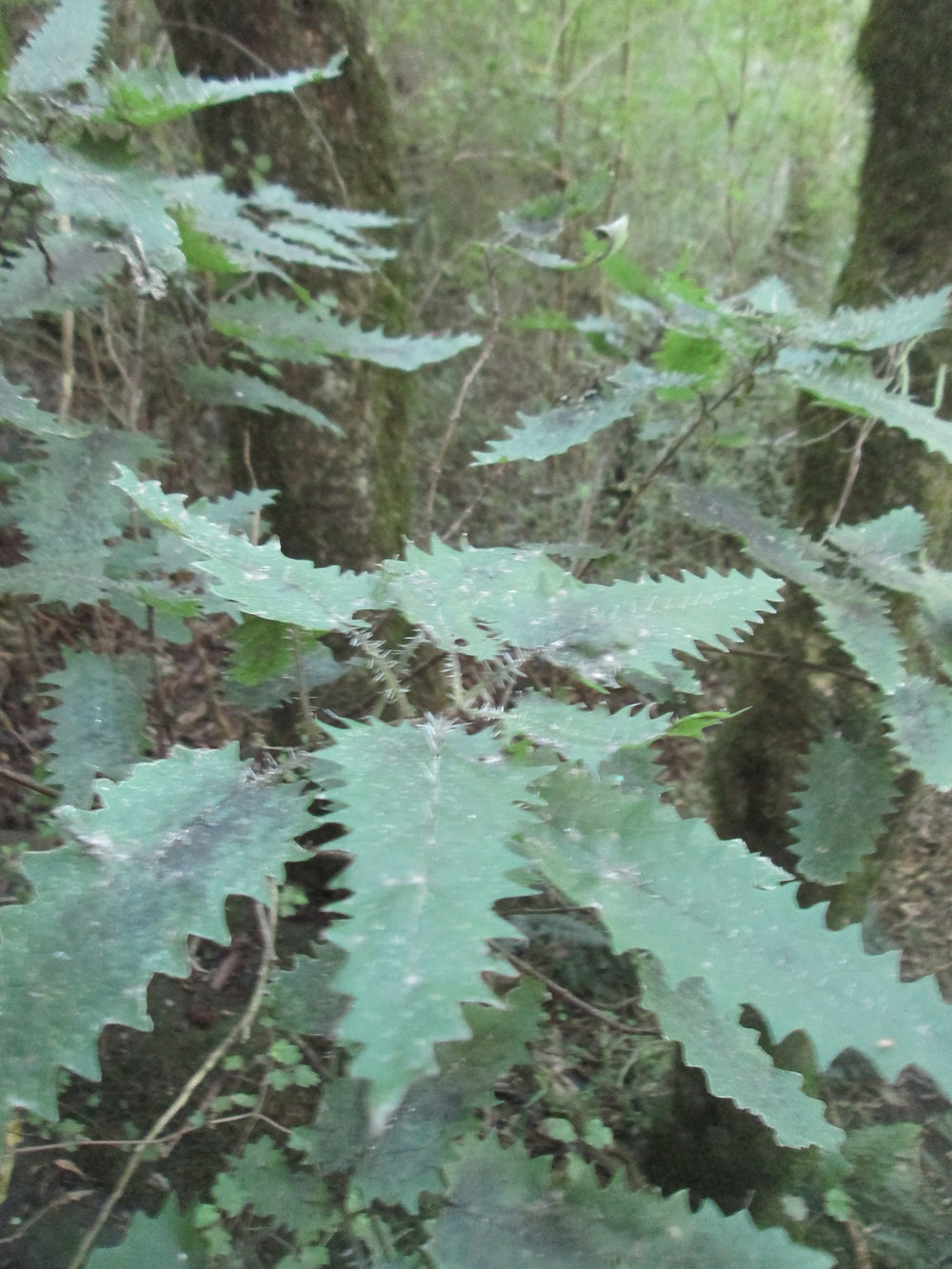 I used to think nothing in NZ would kill you except the weather and (very rarely) earthquakes, but I found out that this will too. New Zealand tree nettles have poisonous spines that can cause paralysis if you get stung enough times. A hunter who bush-bashed through a big patch of them died. But hey, at least they don't chase after you like snakes, or crawl into your boots like poisonous spiders (I'm looking at you, Australia).