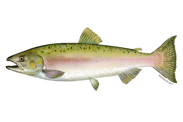 A female  Oncorhynchus gorbuscha,  my primary picture reference when building.