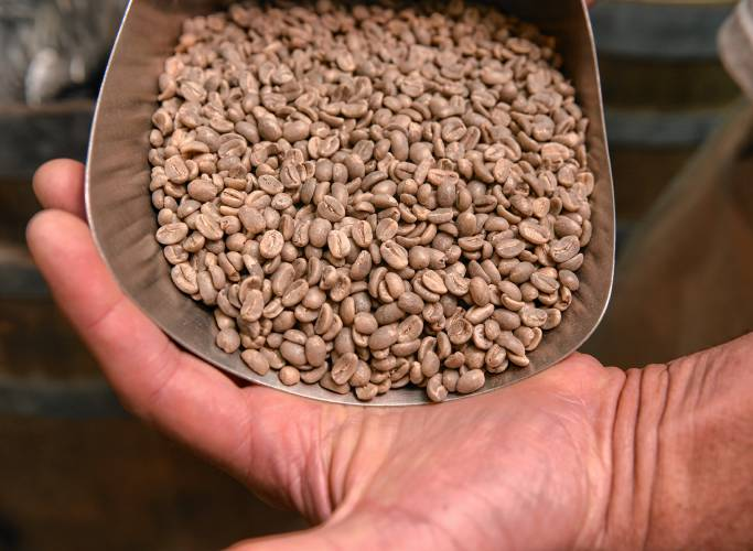"Unroasted, or ""green,"" coffee beans. (Photo by Daily Hampshire Gazette Staff/ Carol Lollis)"