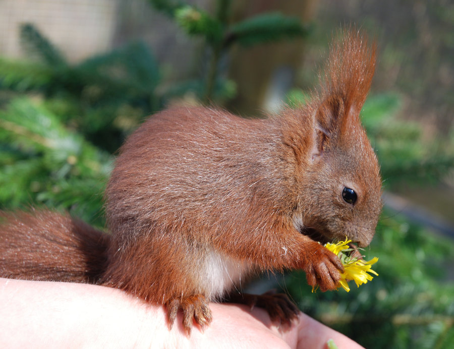 eurasian_red_squirrel_baby_by_gspotsimulant-d1zskmo.jpg