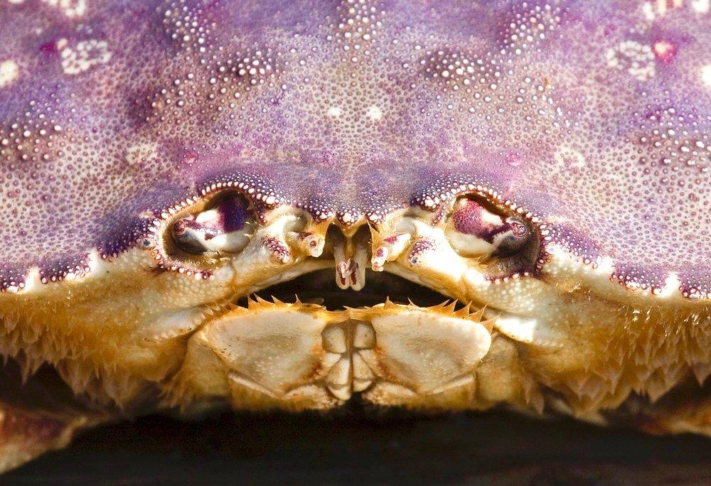 MJS Dungeness_crab_face_closeupWikiMedia (1).jpg