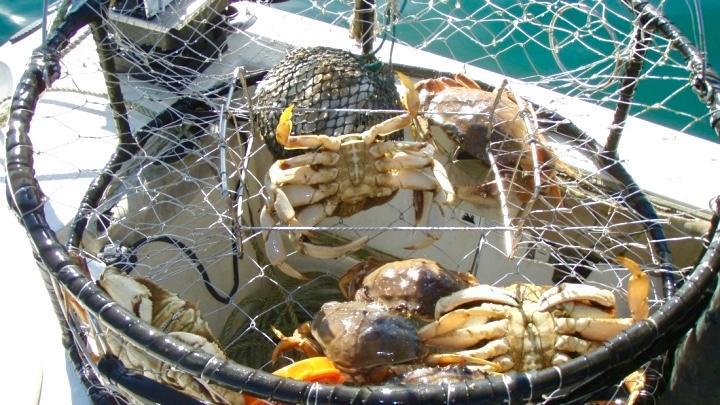 MJS dungess-crabsCADeptF&W (1).jpg