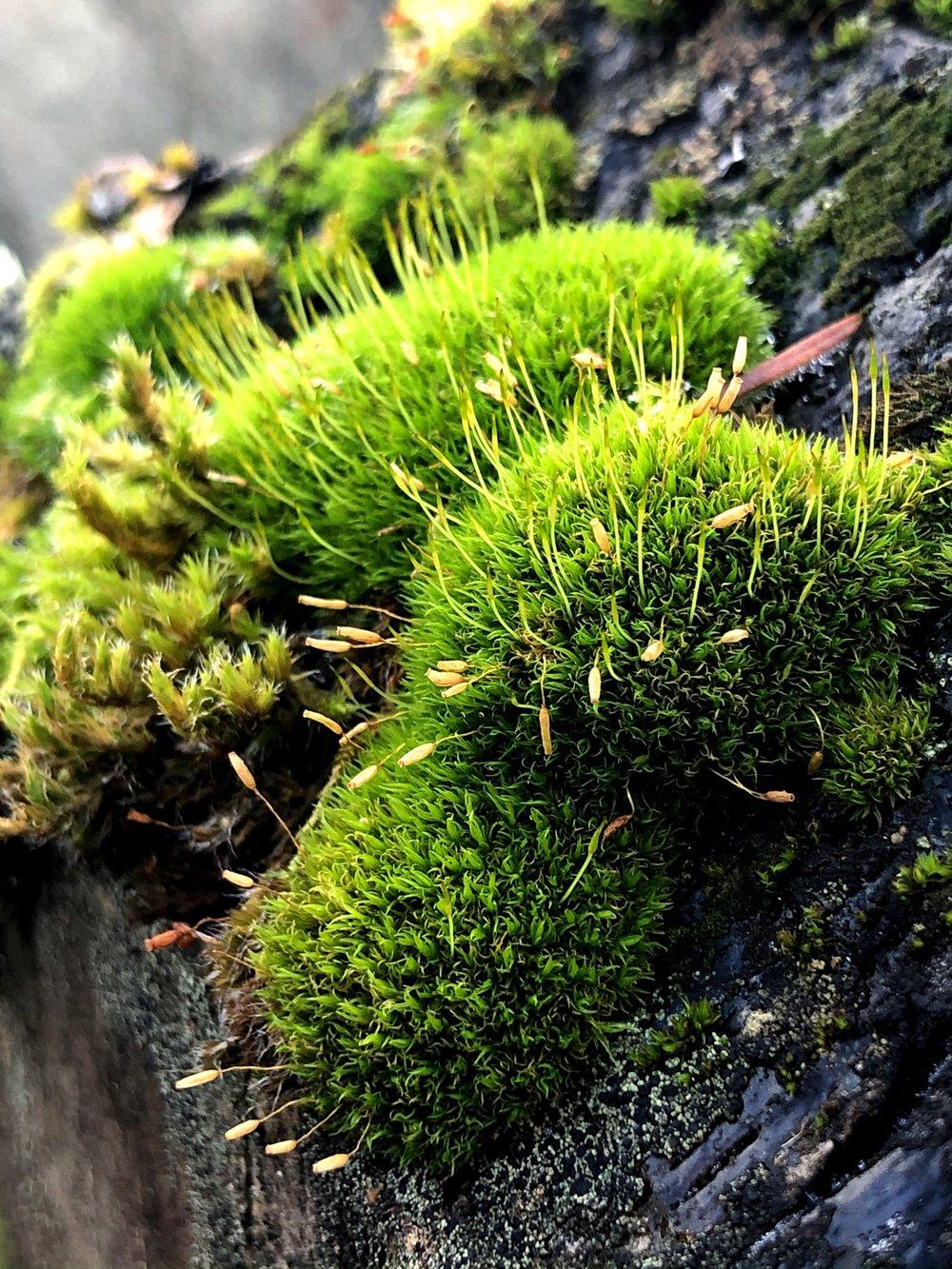 Gorge Moss