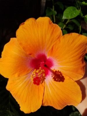Orange Maui Flower.jpg