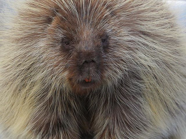 Face-to-face with a porcupine on a trailhead.  #wildlifephotography #porcupine