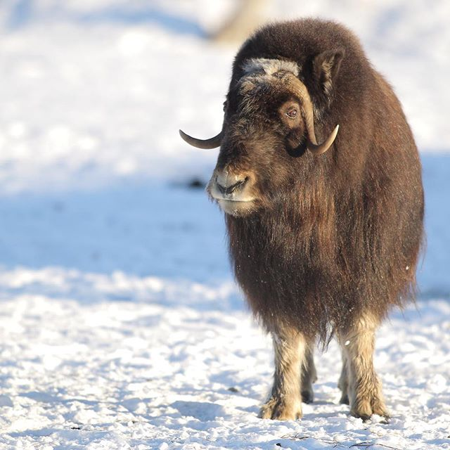 Happy Earth Day. May we all remember that we share this world with an abundance of spectacular life. . . . #earthday #muskox #quiviut