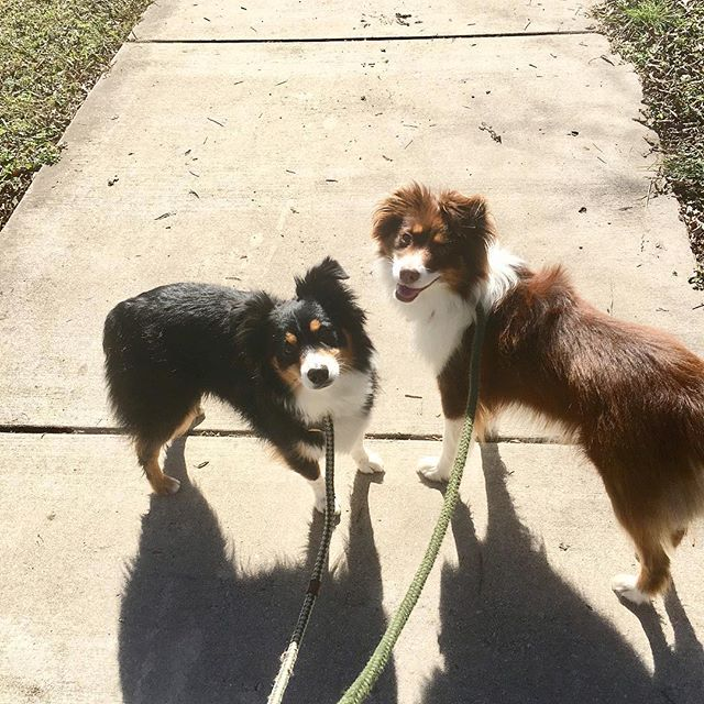 Forever my favorite two pups. I really prefer my dogs to people 🤷🏼‍♀️ • • • • #miniaussie #miniaussie_world #miniaustralianshepherd #australianshepherd #blacktriaussie #redtriaussie #aussie #milso #milspo #milsowife #militarywife #militaryspouse #armylife #armywife #armymilso #optoutside #dogmom #dogstagram #pupstagram #monroeandmaverick #monroetales #thatsdarling #everysquareastory #mybeautifulmess #searchwandercollect #liveunscripted #dogsarebetterthanpeople #dogwalk #noplaceidratherbe