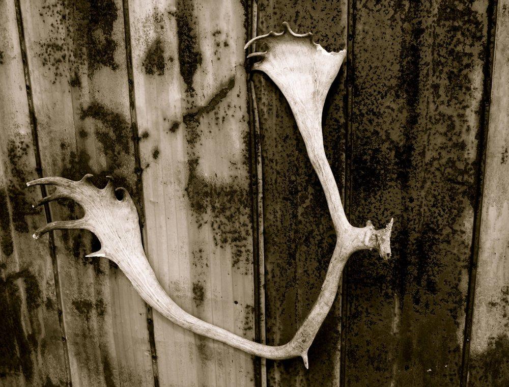 moose-horns-quebec.JPG