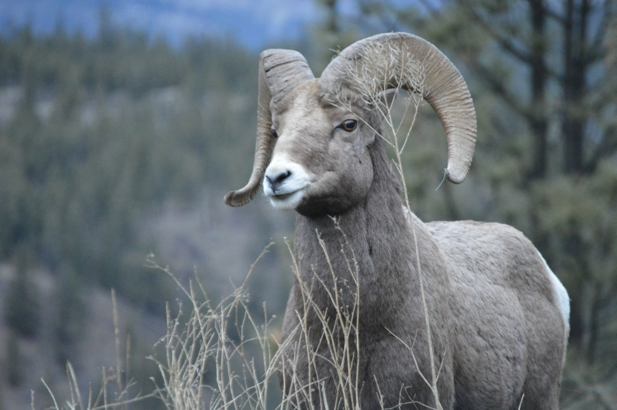 added-to-mountain-sheep-british-columbia.jpg