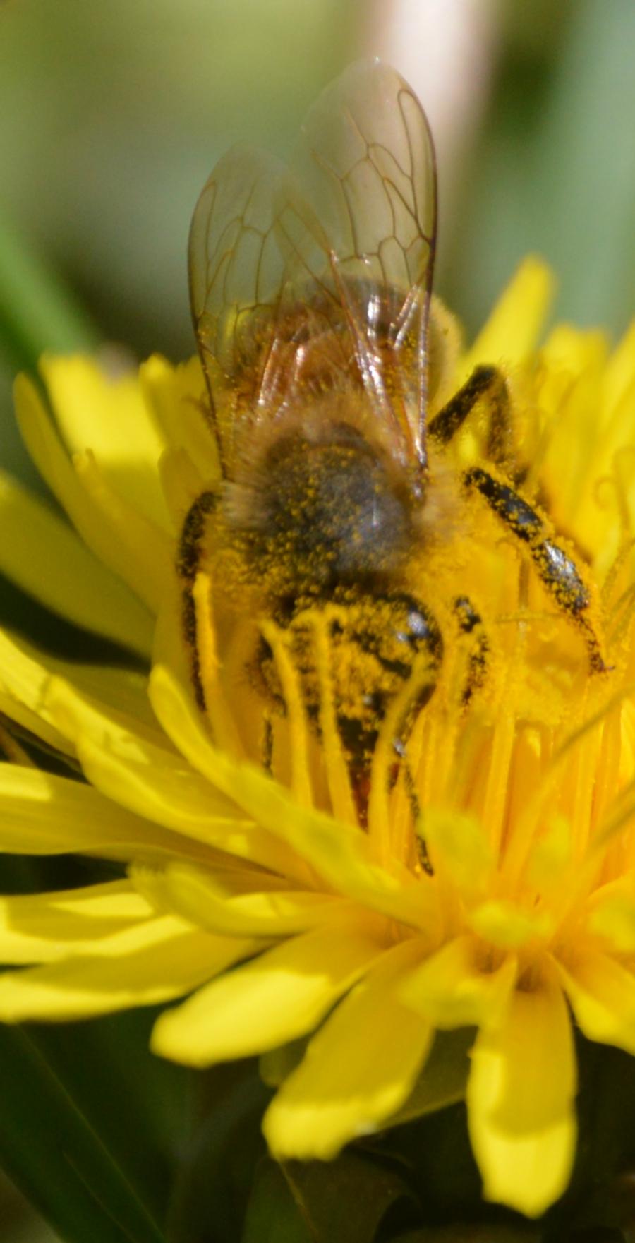 victoriabc-bee-pollen.jpg