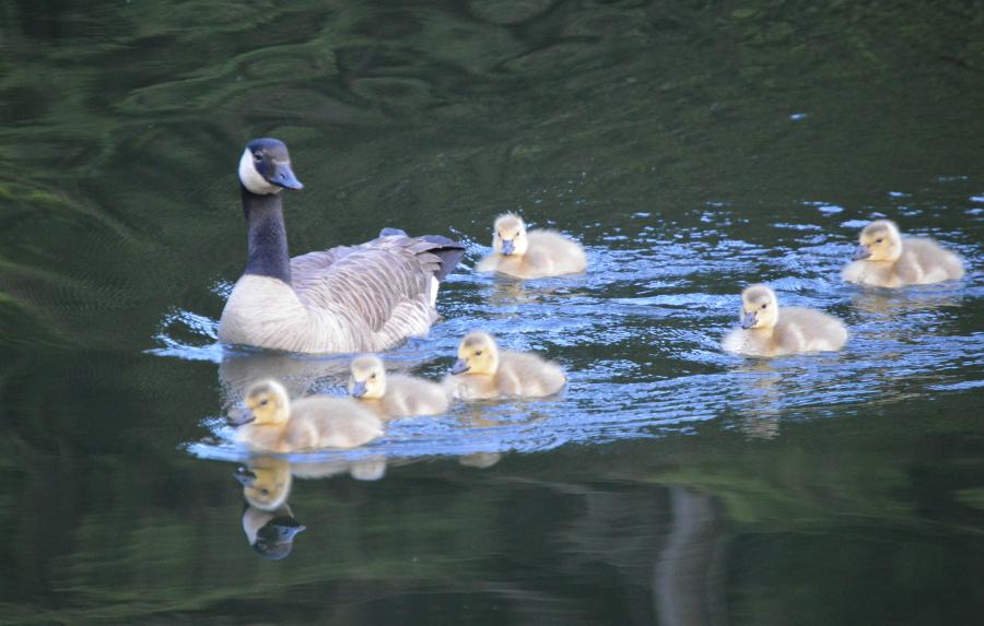 whistler-lake-geese.png
