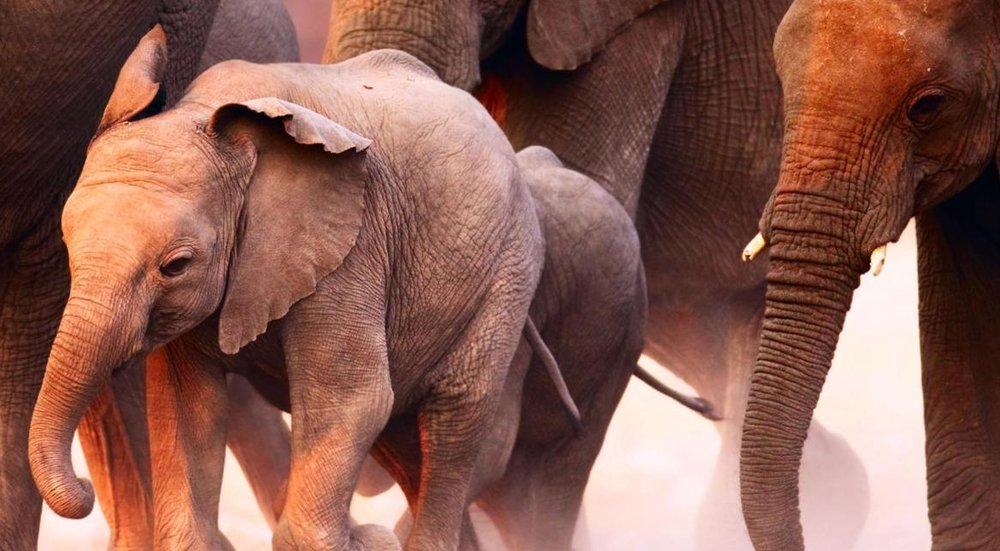 How to move 500 elephants - BBC Earth, September 2016