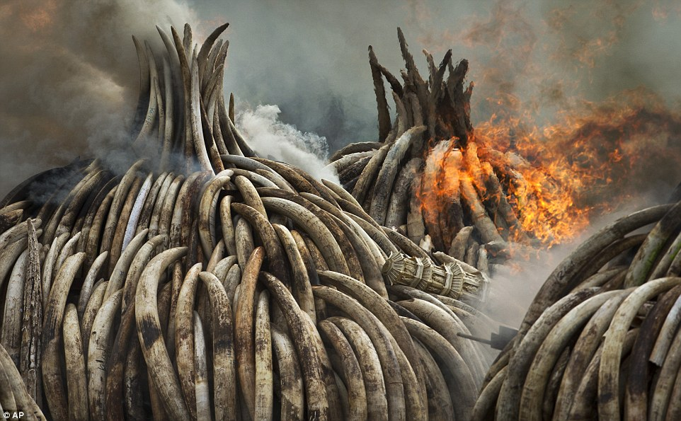 Kenya stages largest ivory burn in history - Daily Mail, April 2016