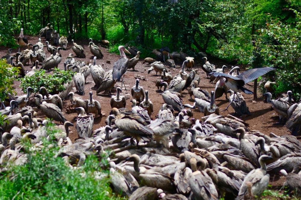 Vulture conservation programme, Zimbabwe