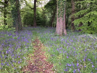 BLUEBELL WOOD #1.JPG