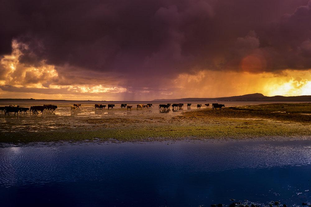 Islay_Cows_2.jpg