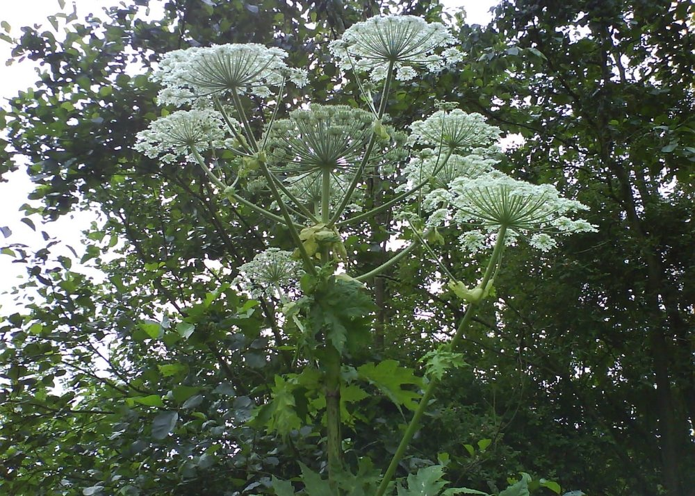 Giant Hogweed, River Tees