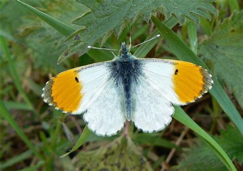 Orange Tip Butterfly Conservation image.jpg